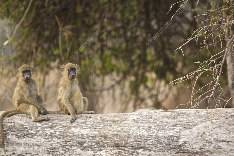 Chacma baboons juveniles