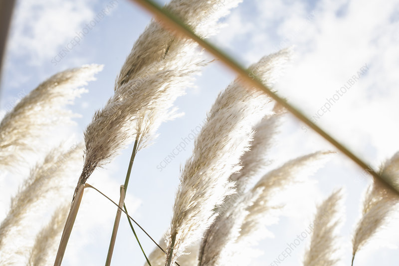 Close up of pampas grass in sunlight