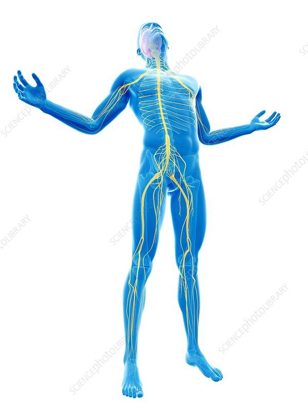 Human nervous system, artwork