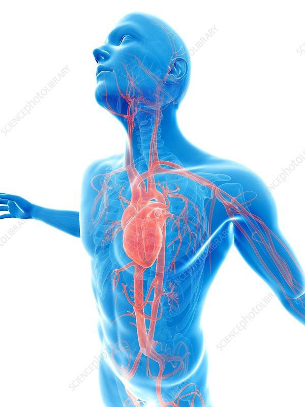 Human vascular system, artwork