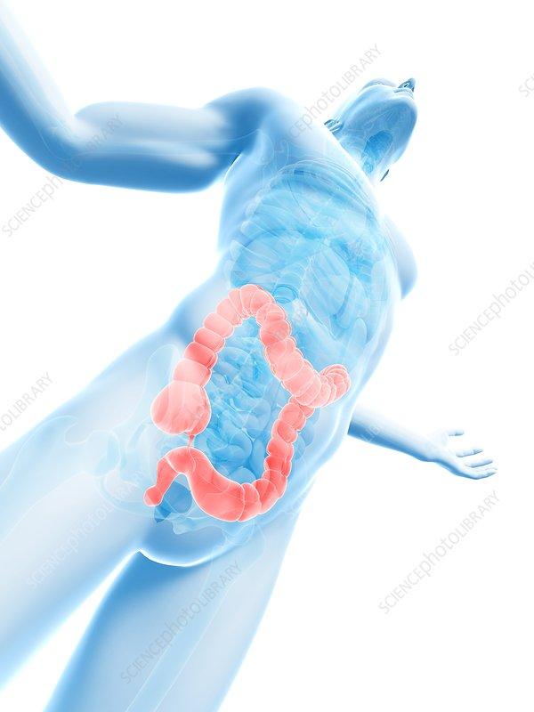 Human large intestine, artwork