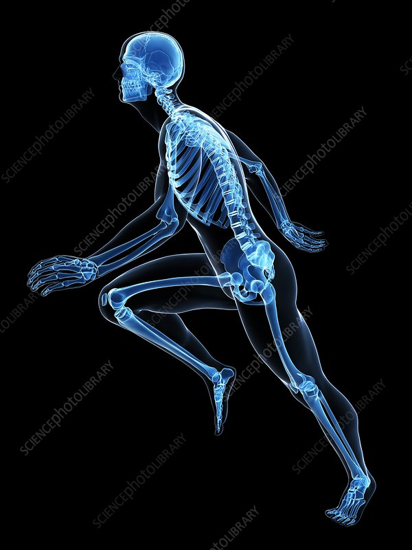 Skeletal system of runner, artwork