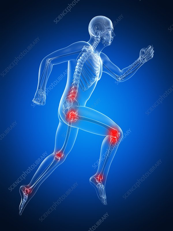 Bones and joints of runner, artwork