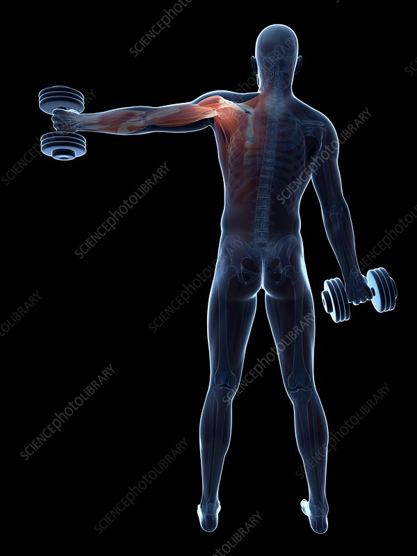 Muscular system of weight lifter, artwork