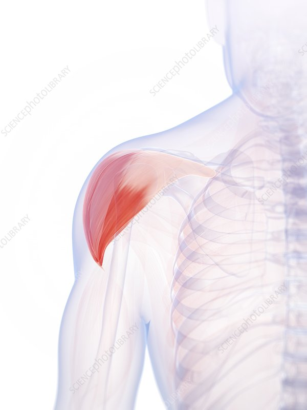 Human shoulder muscle, artwork