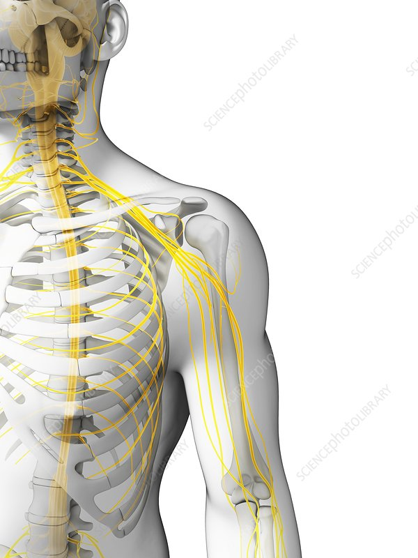 Human shoulder nerves, artwork