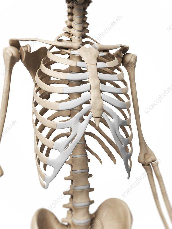 Human ribcage, artwork