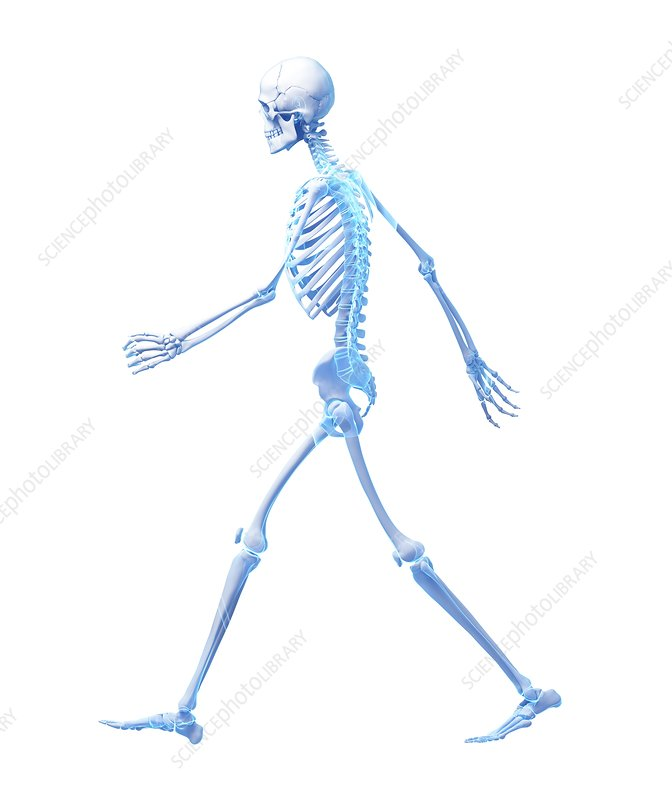 Skeletal system of person walking