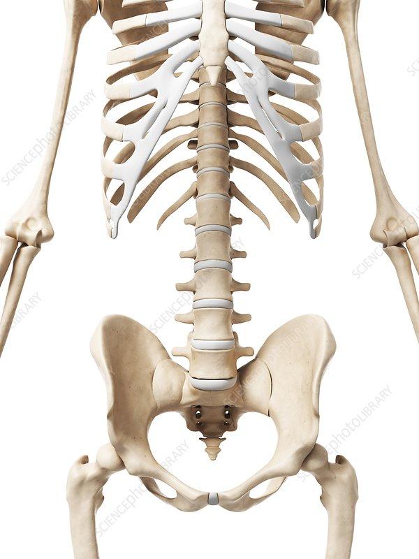 Human pelvis, artwork