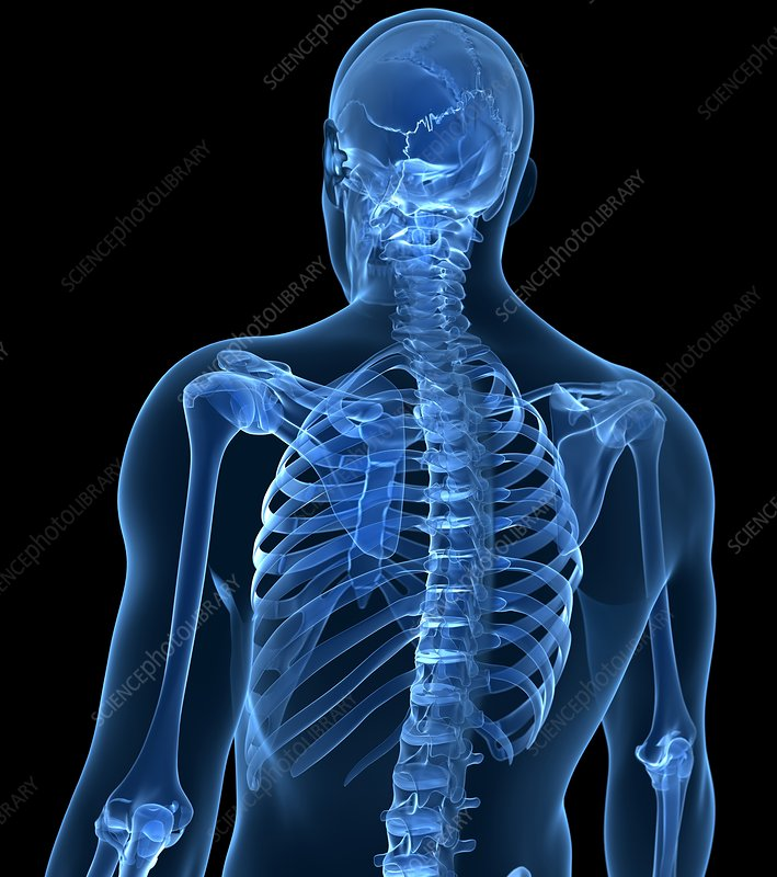 Human skeletal system, artwork