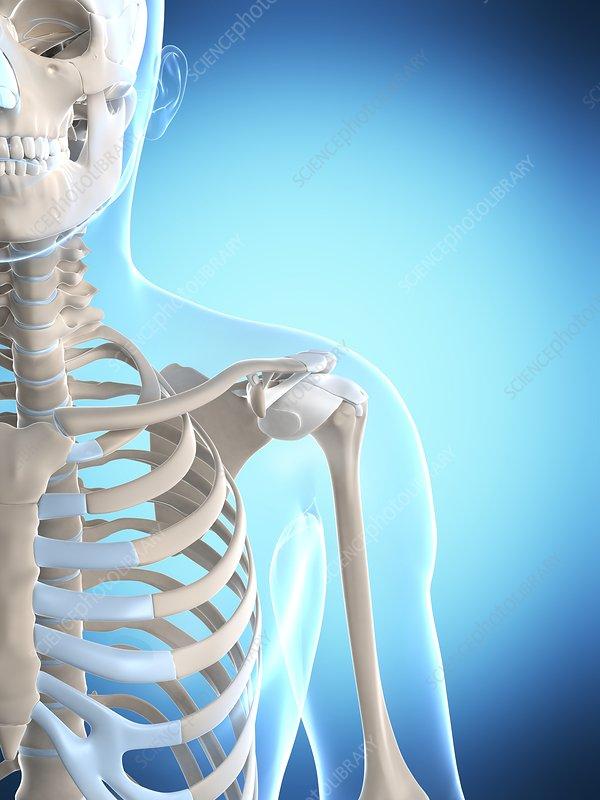 Human shoulder, artwork