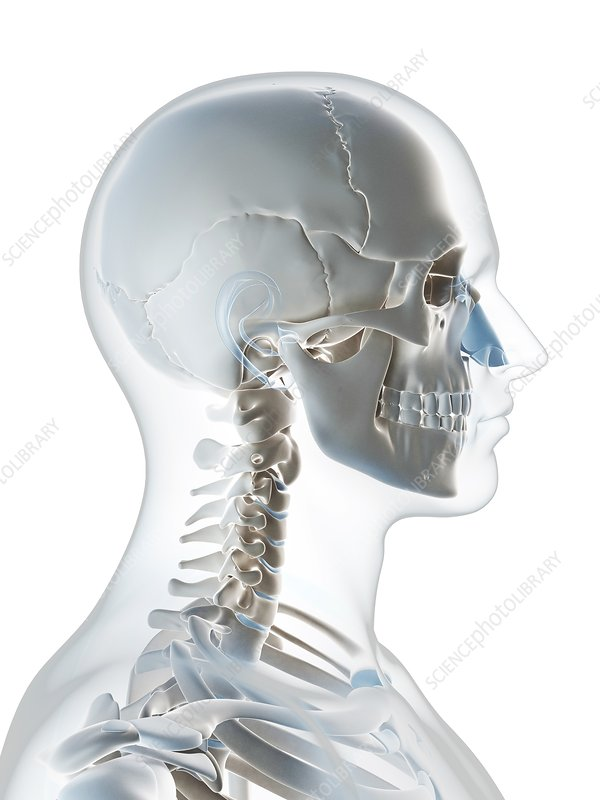 Human skull and neck, artwork