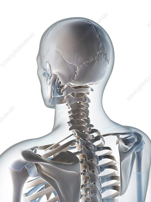 Human skull and neck, artwork