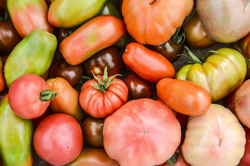 A crop of varieties of tomato