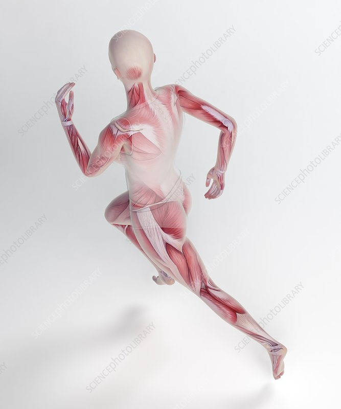 Human skeletal structure of a runner