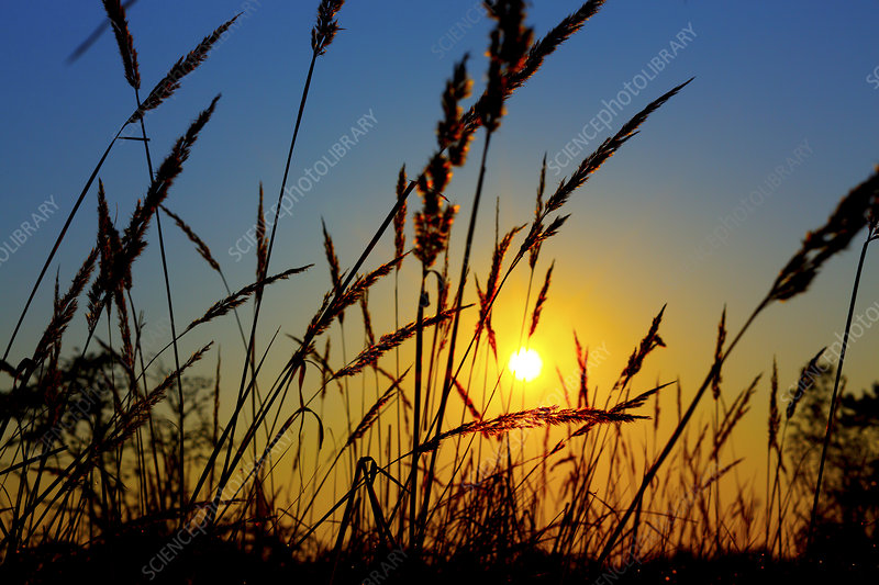 Wheat field in sunrise