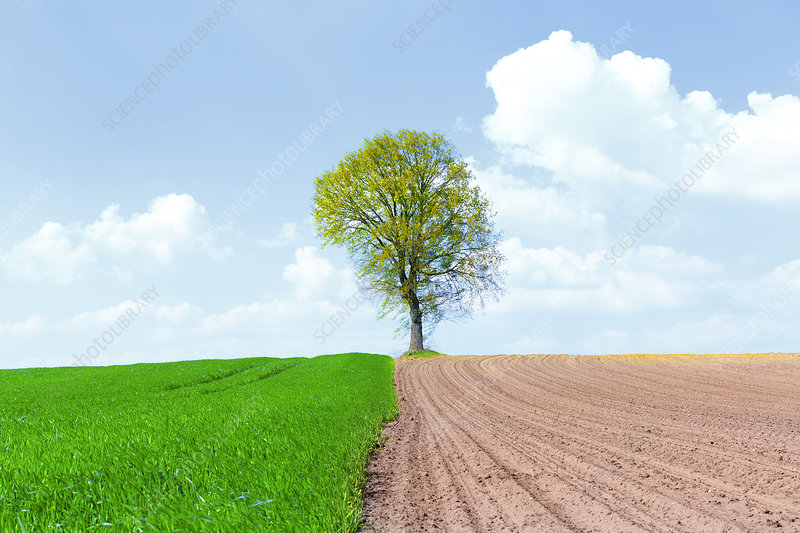 Half ploughed wheat field with a tree