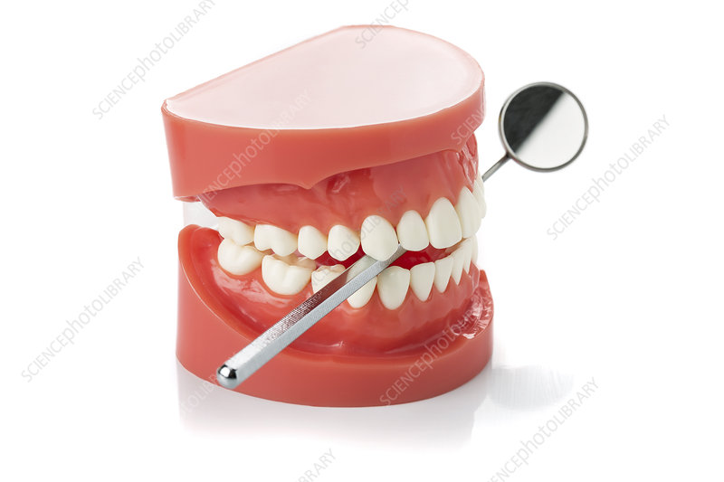 Model of human jaw with dental mirror