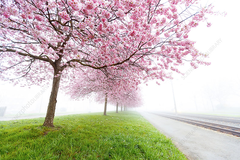 Pink blossom on trees