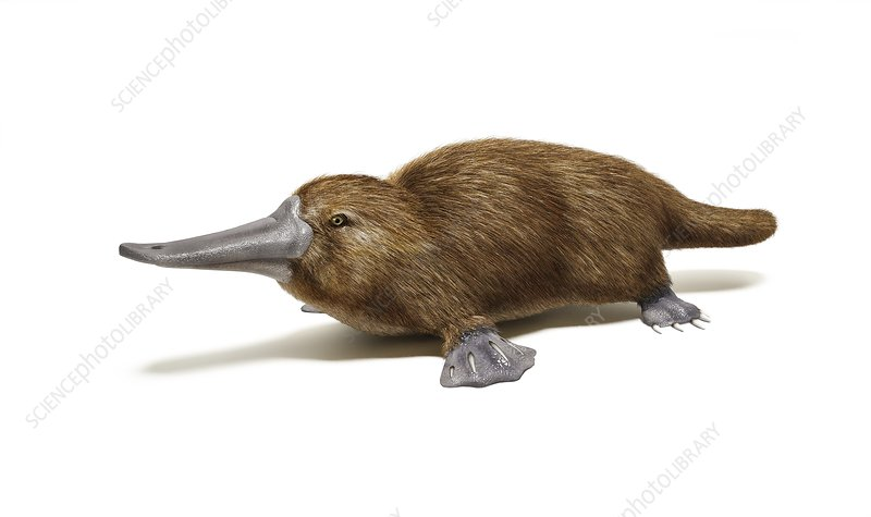 Duck billed platypus, artwork