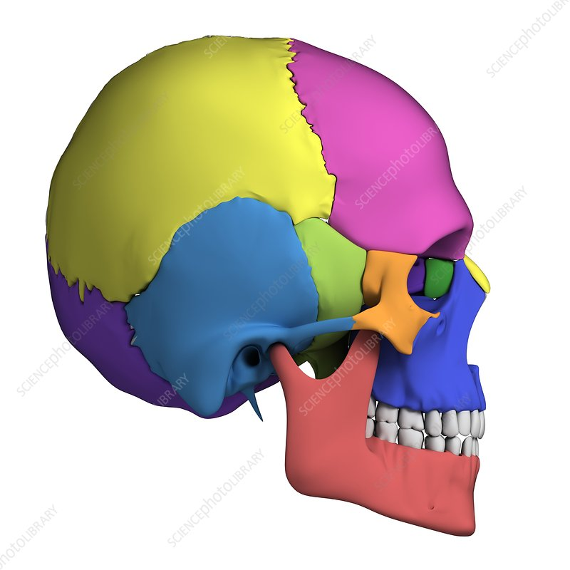 Human skull anatomy, illustration