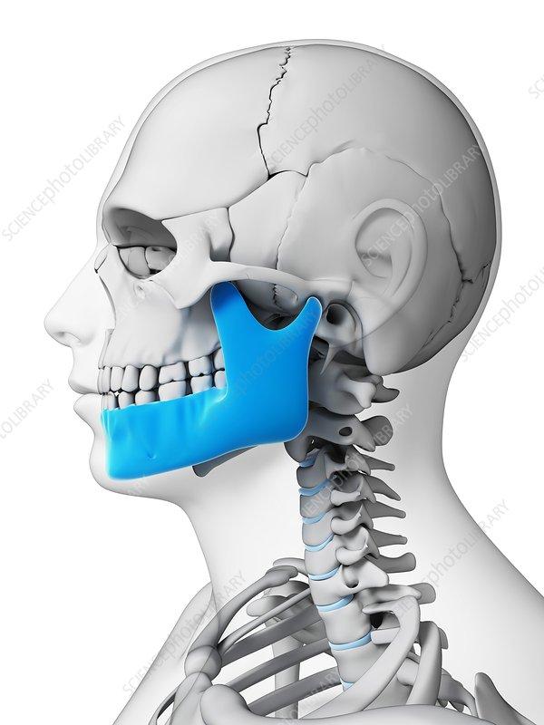 Human skull, illustration