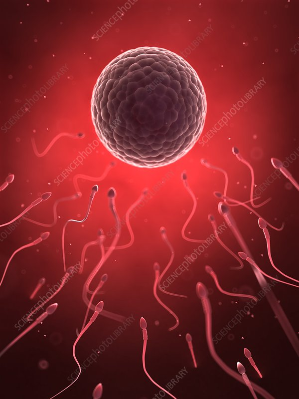 Human sperm and egg, illustration