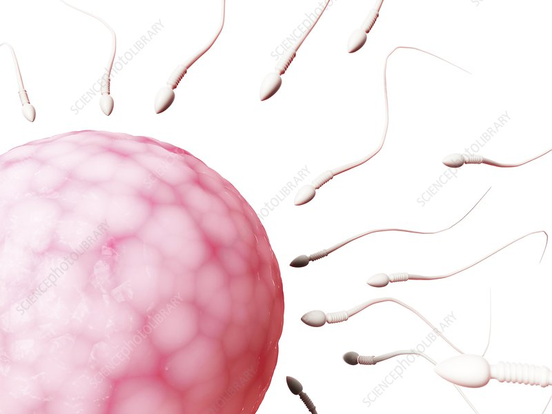 Human sperm and egg, illustration