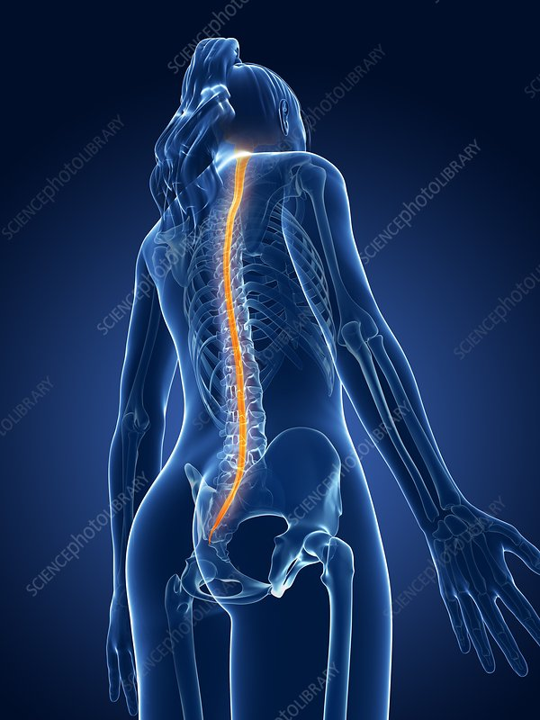 Human spinal cord, illustration