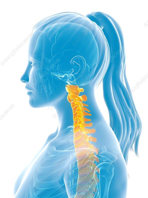 Human cervical spine, illustration