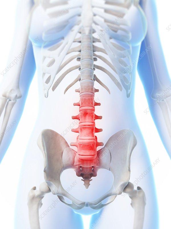 Human lumbar spine, illustration