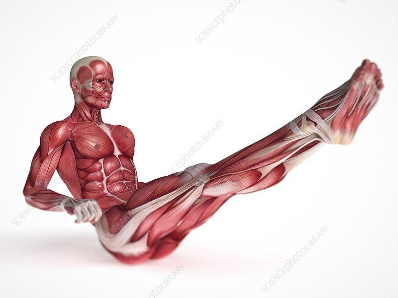 Human muscular system, illustration