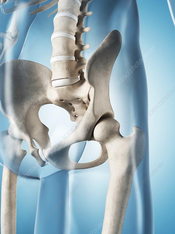 Human skeletal system, illustration