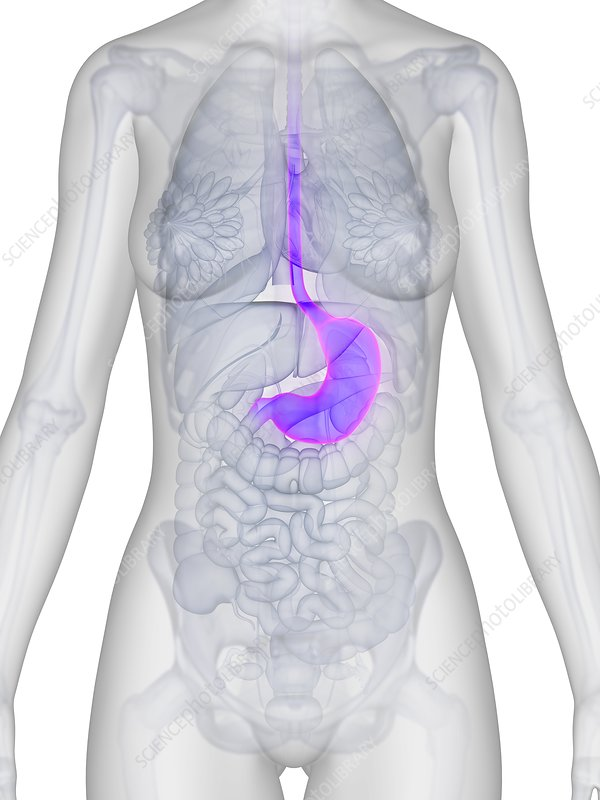 Human stomach, illustration