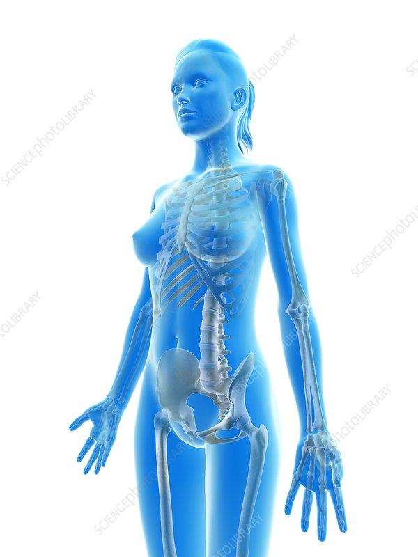 Female skeletal system, illustration