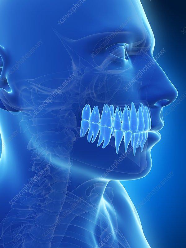 Human teeth, illustration