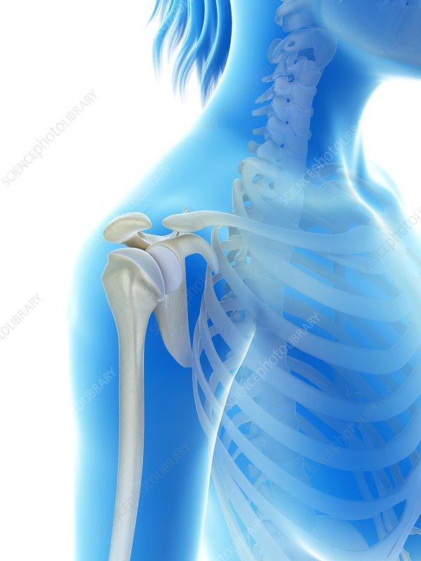 Human shoulder joint,
