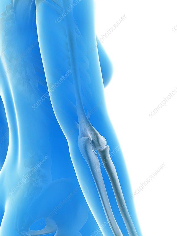 Human elbow joint, illustration