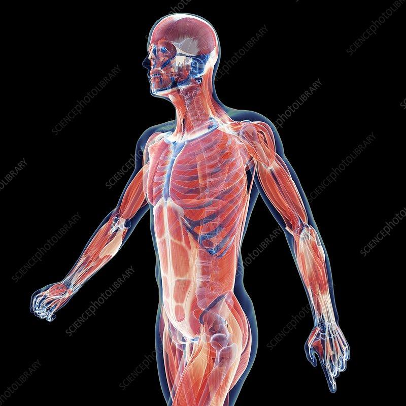 Human musculature, illustration
