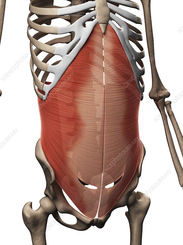 Human abdominal muscles, illustration