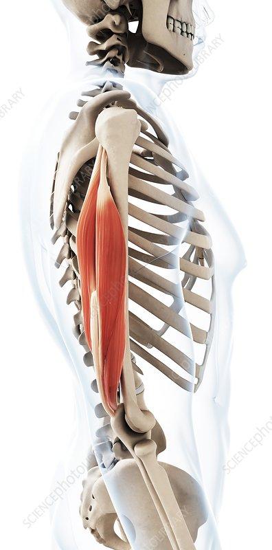 Human triceps, illustration
