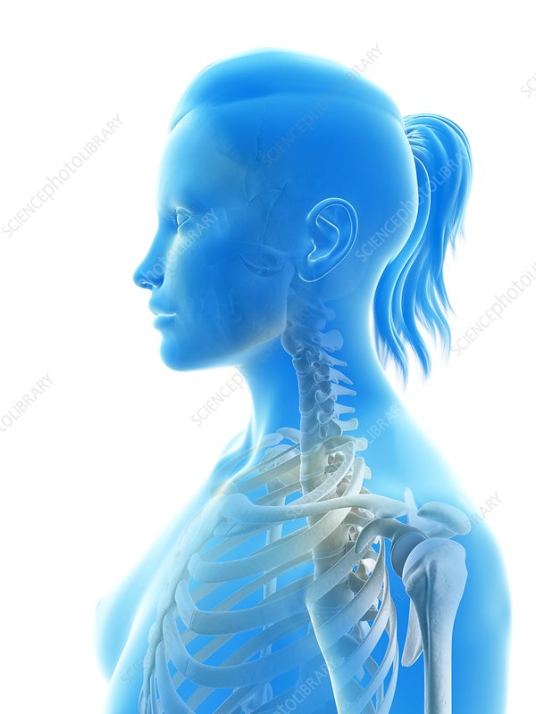 Human cervical spine, illustration