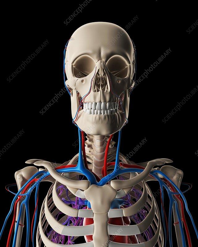 Human vascular system, illustration