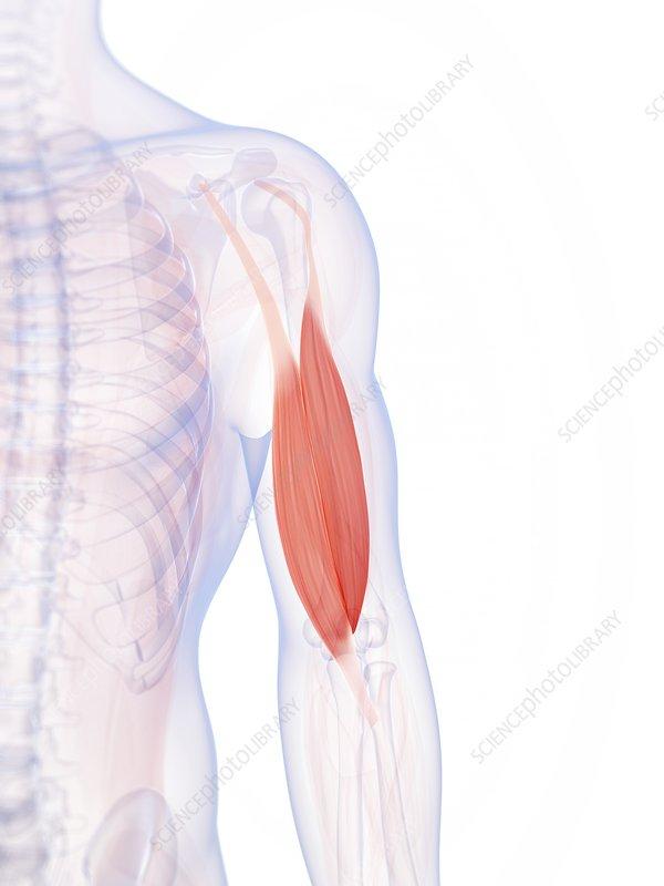 Human biceps, illustration