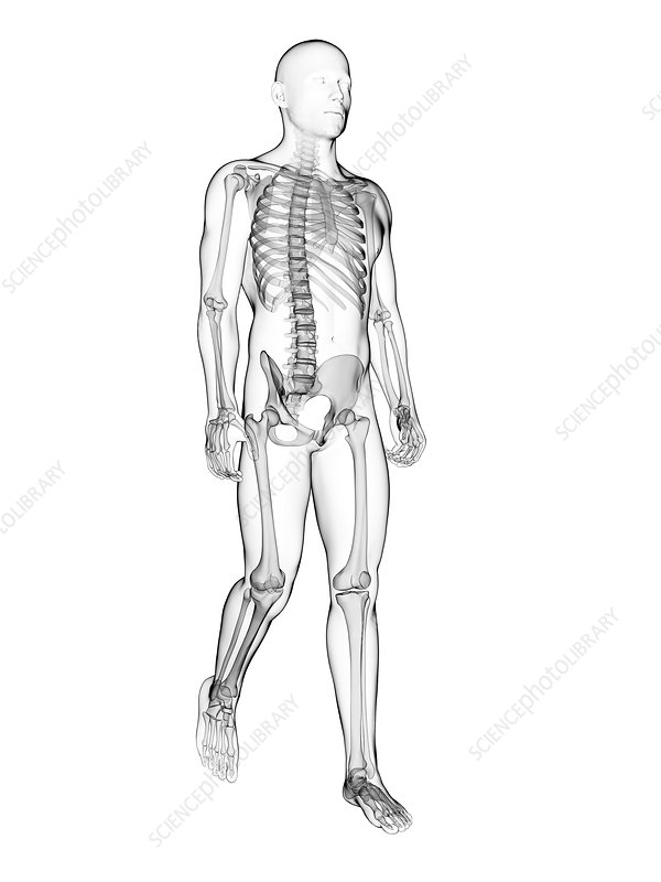 Human skeletal system, illustration
