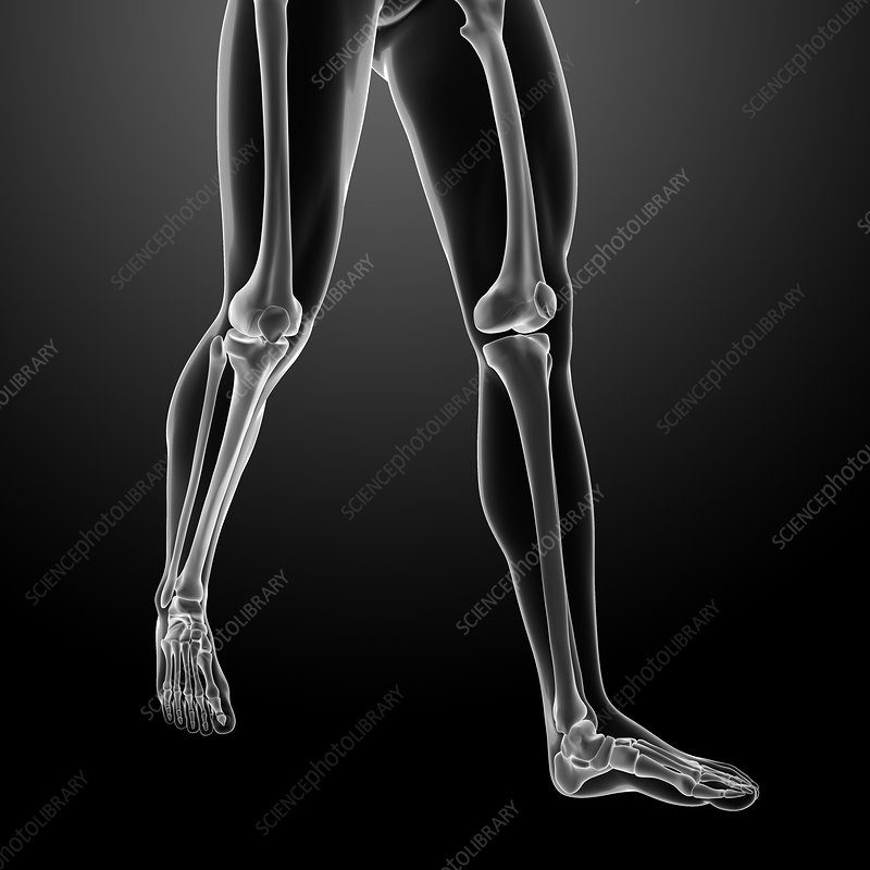Human leg bones, illustration