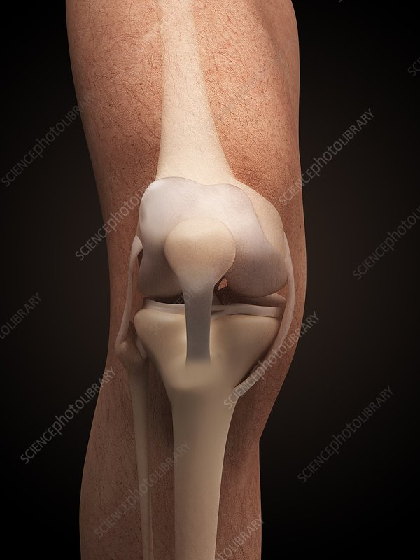 Human knee anatomy, illustration