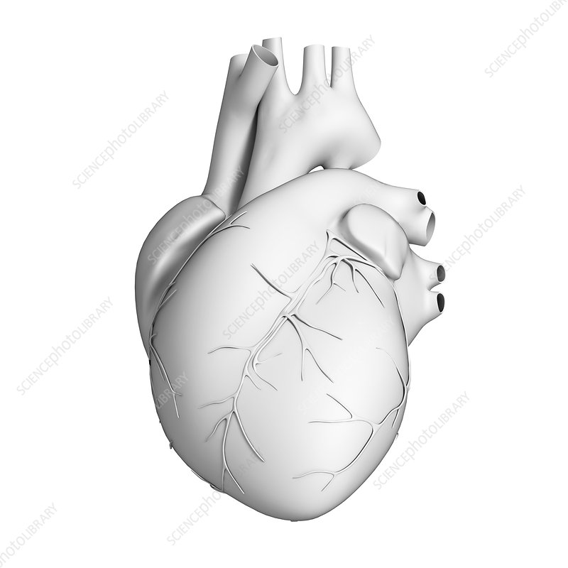 Human heart, illustration