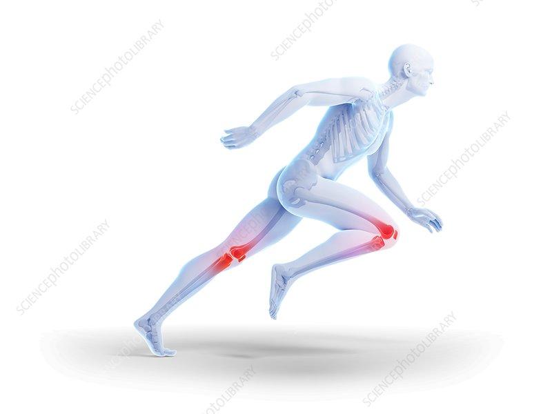 Human Knee Anatomy Illustration Stock Image F0107446 Science