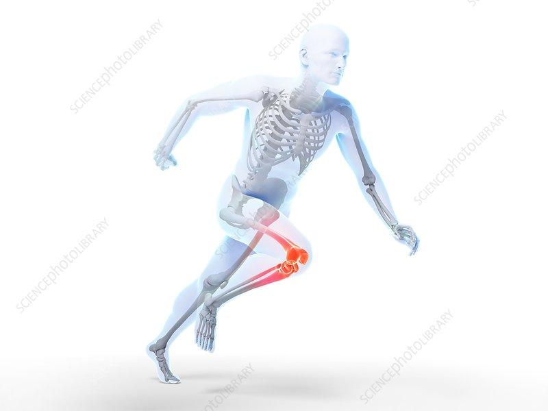 Human knee anatomy, illustration